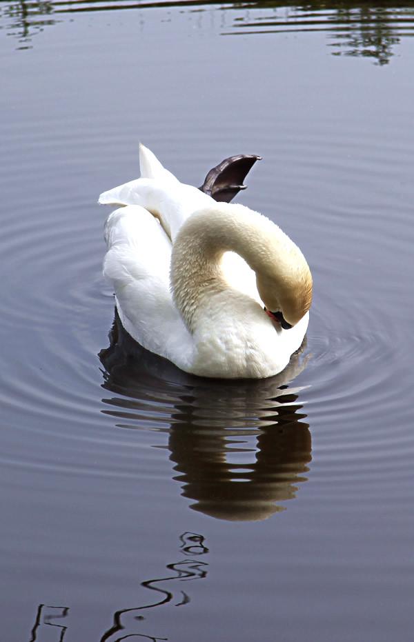 Swan in pond in the Keukenhof, Holland