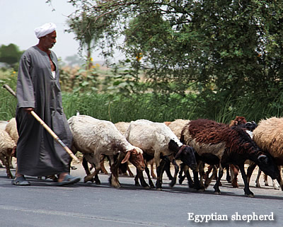 Egyptian Shepherd